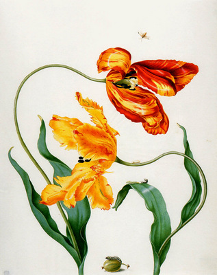 Merian Maria Sibylla Flowers x Sun