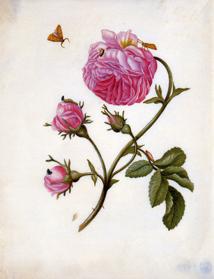 Merian Maria Sibylla Roses with butterflies Sun