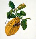 Merian Maria Sibylla Flower 1 Sun