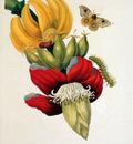 Merian Maria Sibylla Flowers Sun