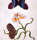 Merian Maria Sibylla Grasiris with exotic butterfly Sun
