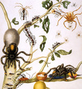 Merian Maria Sibylla Spiders and other insects Sun