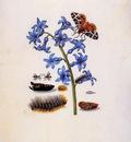 Merian Maria sibylla Garden hyacint Sun