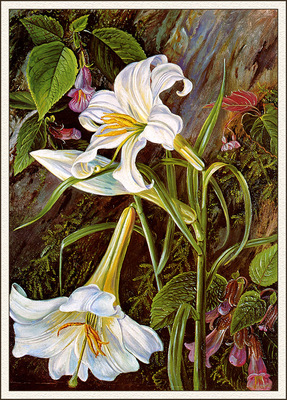 bs flo Marianne North Great Lily Of Naini Tal India