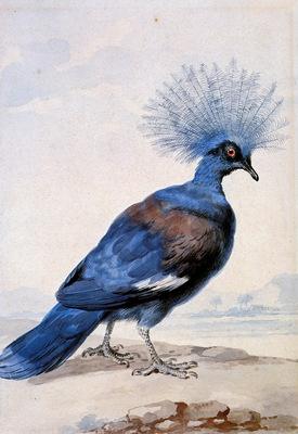 Schouman Aert Crowned pigeon Sun