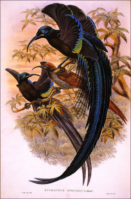 bs na William Hart Black Sickle Billed Bird Of Paradise