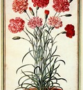walther carnations