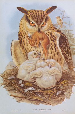 bs na Josef Wolf Eagle Owl
