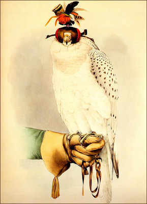 bs na Joseph Wolf Falco Peregrinus