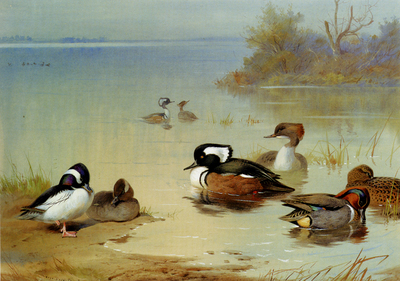 Thorburn Archibald Buffel Headed Duck American Green Winged Teal And Hooded Merganser