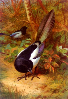 Thorburn Archibald Magpies