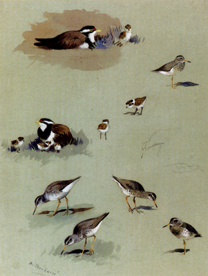 Thorburn Archibald Study Of Sandpipers Cream Coloured Coursers And Other Birds