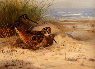 Thornburn Archibald Woodcock Nesting On A Beach