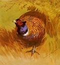 Thorburn Archibald A Cock Pheasant