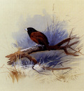 Thorburn Archibald A Nepalese Black Headed Nun In The Branch Of A Tree