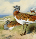 Thorburn Archibald Great Bustards