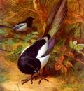 Thorburn Archibald Magpies