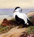 Thornburn Archibald Common Eider Ducks