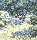 olive grove  bright blue sky