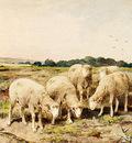 Mauve Anton Grazing Sheep