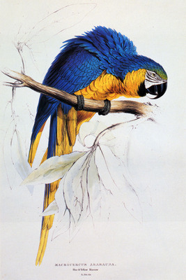 Lear Edward Blue And Yellow Macaw