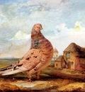 Ward James A Fancy Pigeon