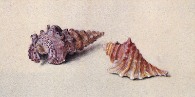 Ruskin John Study of Two Shells