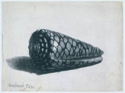 Rembrandt Cone Shell Conus marmoreus