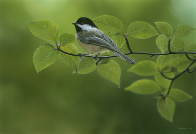 Robin Murray SHADES OF SUMMER -Chickadee