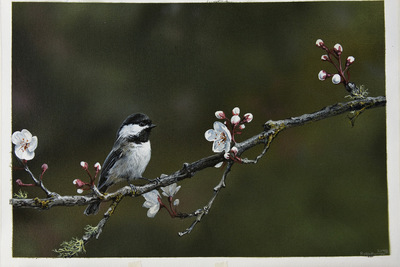"ROBIN MURRAY ""SPRING ""chickadee"