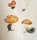 Paul Gosselin - Suillus granulatus